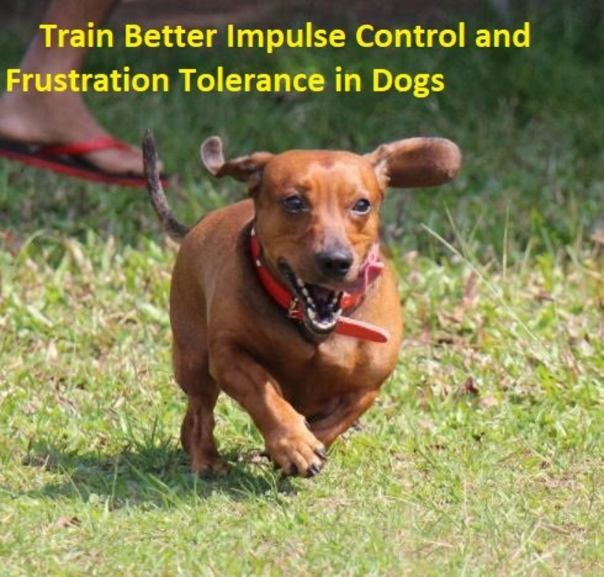 Training a Dog Impulse Control and Frustration Tolerance