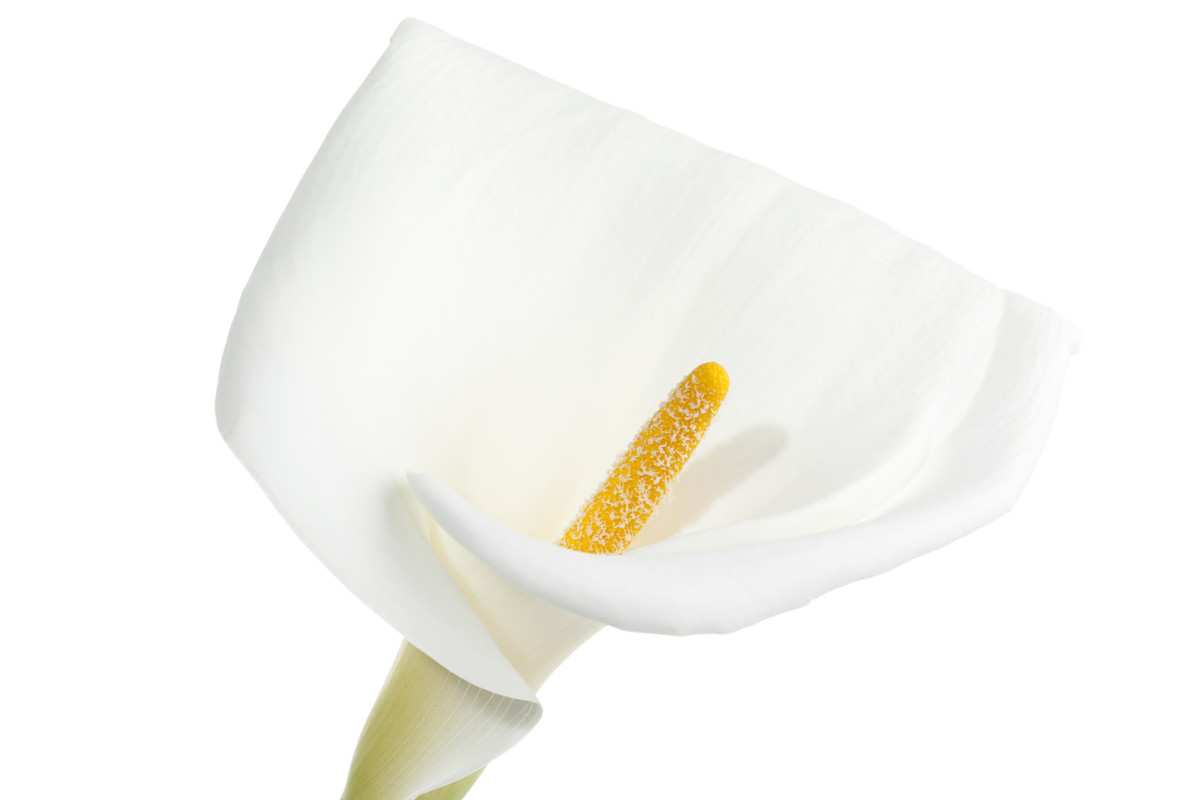 Calla lilies are a beautiful, sophisticated addition to any garden.