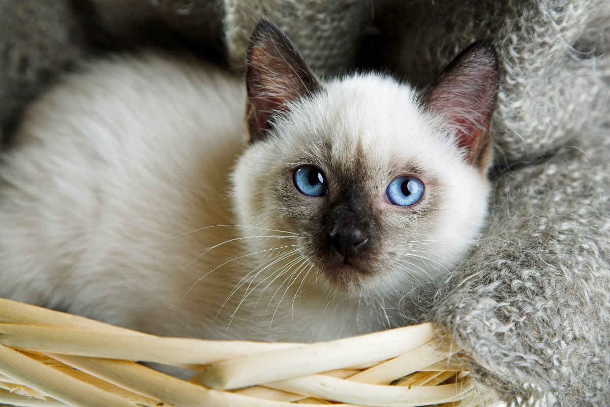 60 Sassy Siamese Cat Names