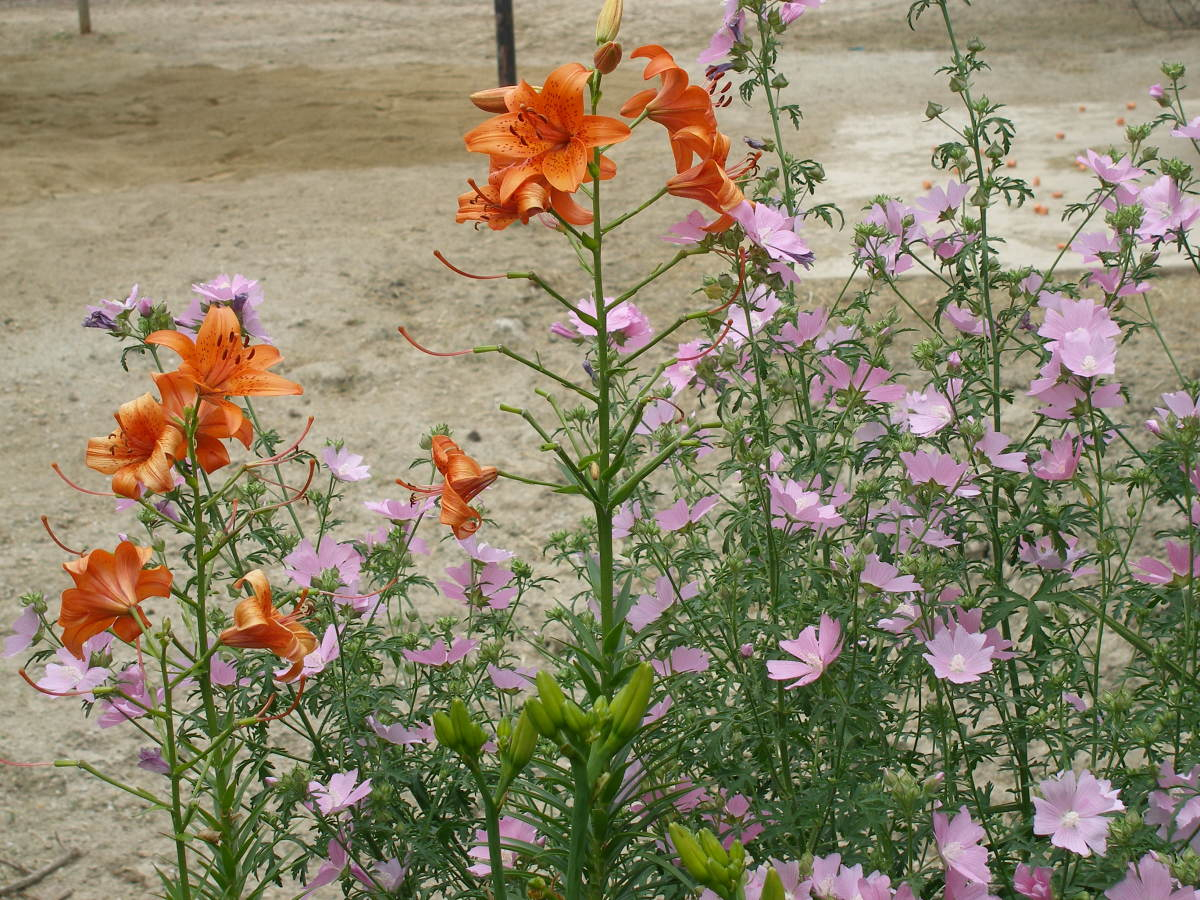 Tiger Lilies with Mallow