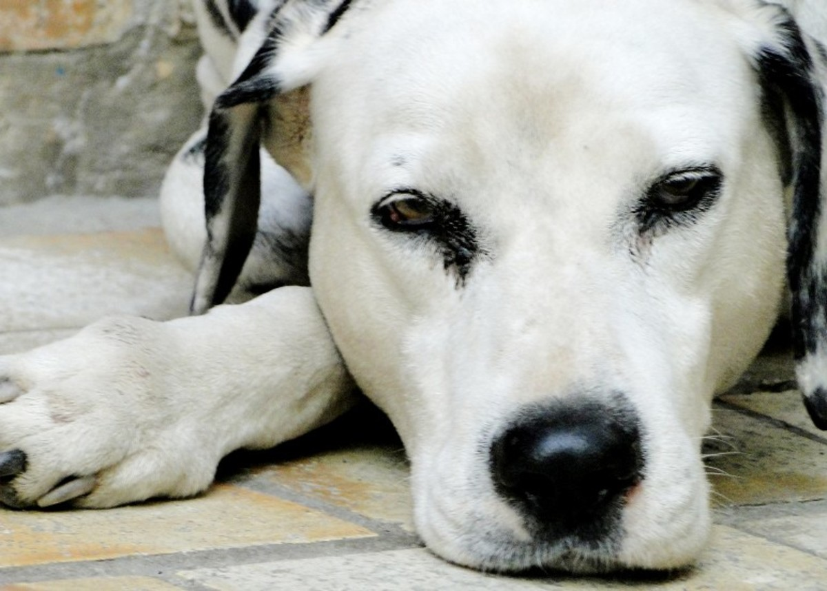 Understanding Dalmatian Urinary Problems