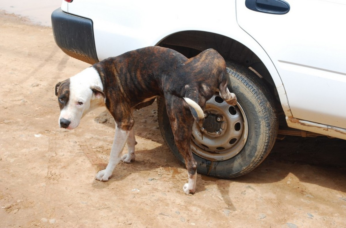 Dog urine marking