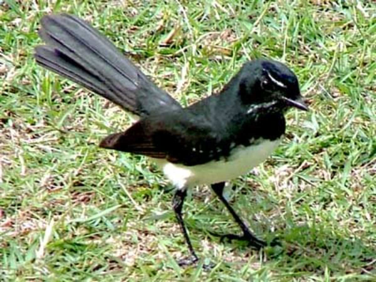 Some birds, like this Willy Wagtail, help control insect populations.