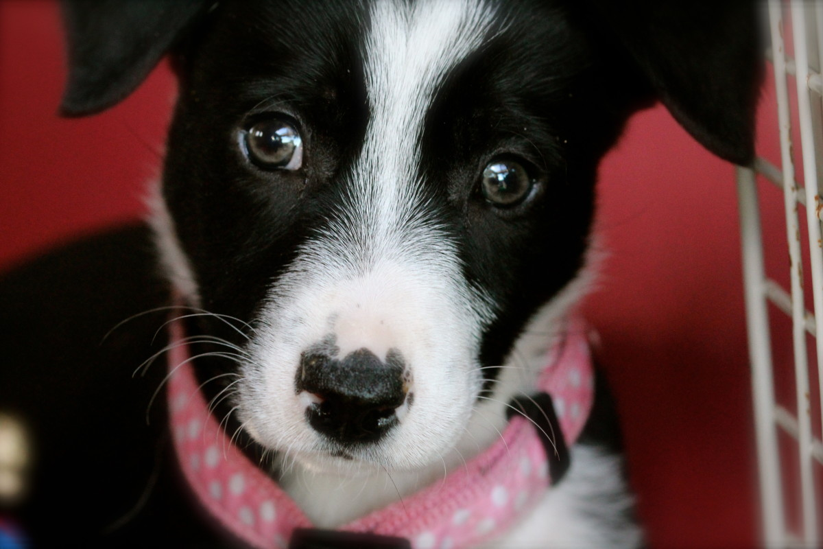 Information About a McNab Puppy