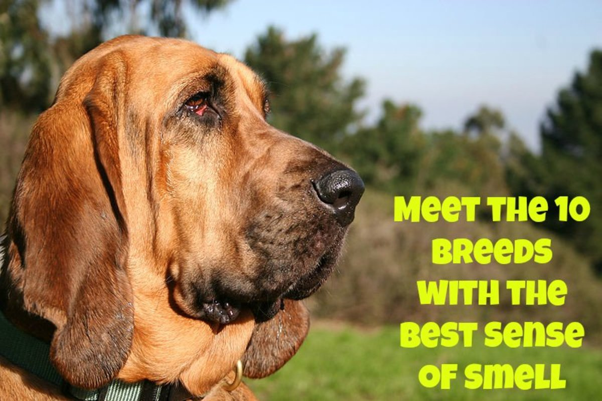 10 Dog Breeds with the Best Sense of Smell