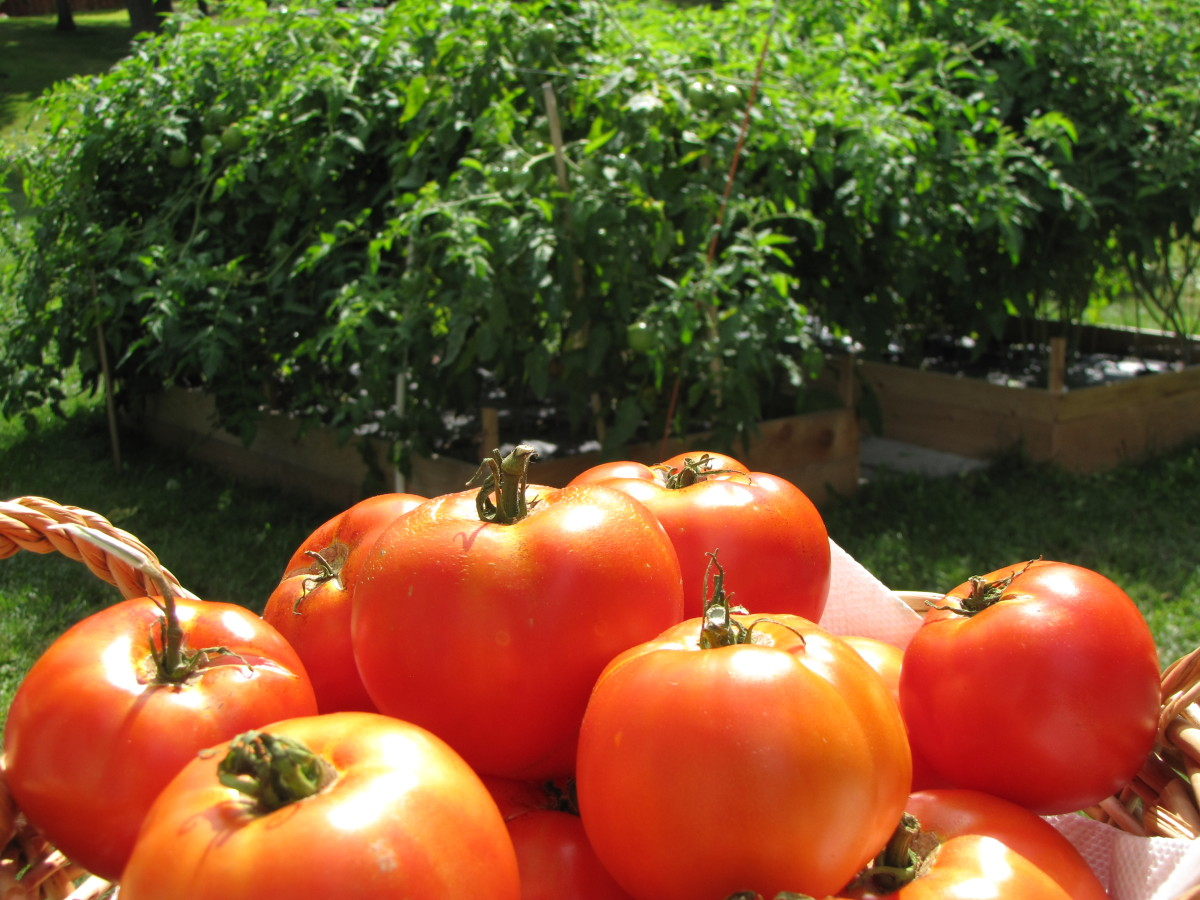 There's nothing quite like garden fresh tomatoes!