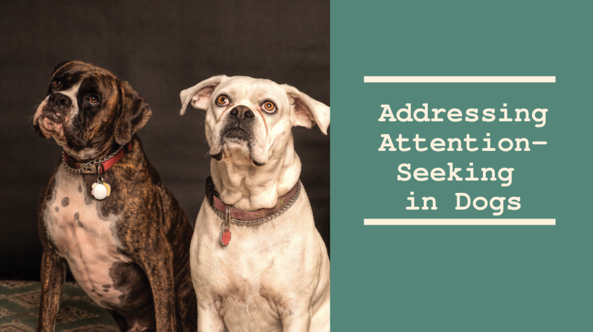 Learn how to stop or prevent excessive attention-seeking from your dog.