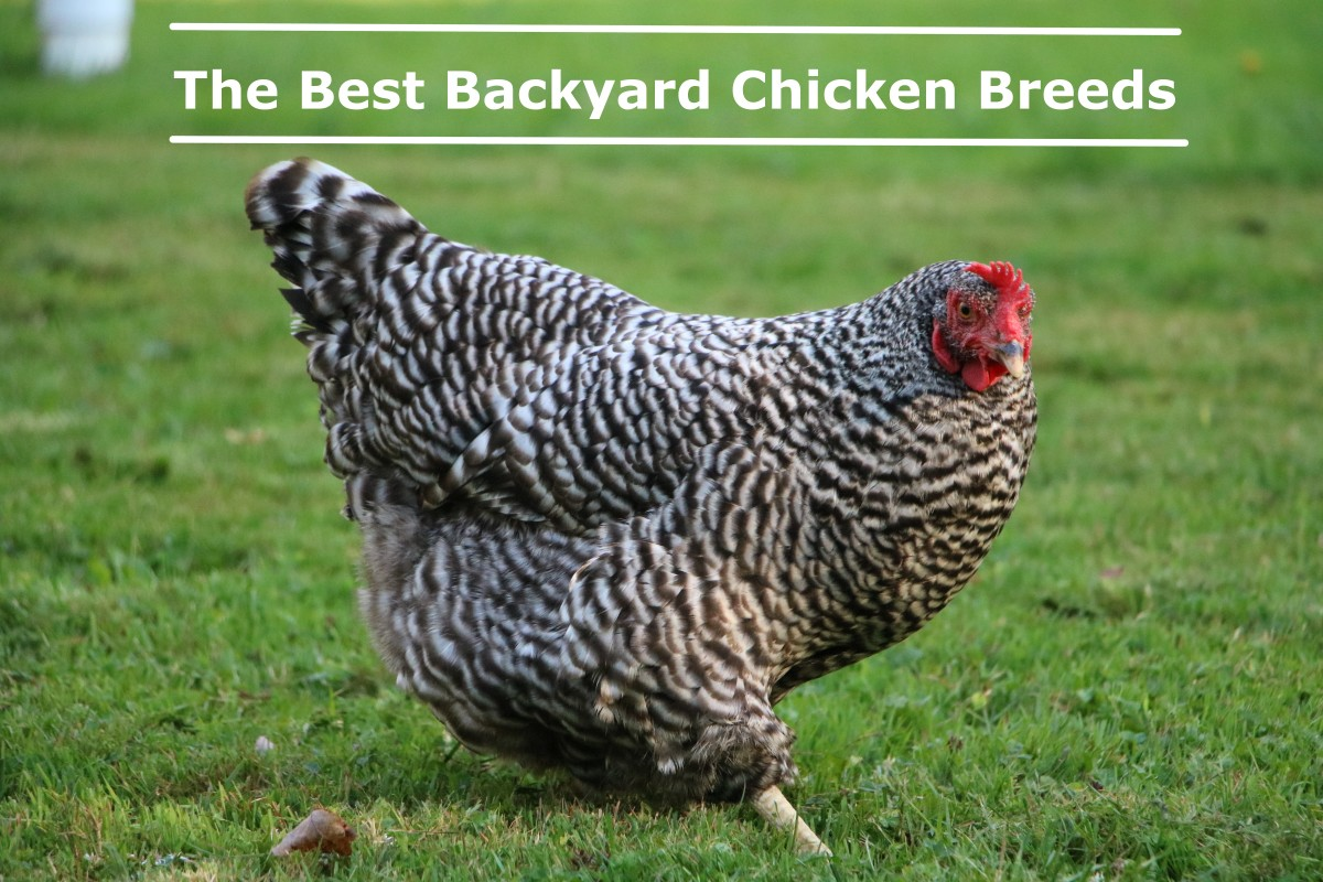 The Best Backyard Chicken Breeds