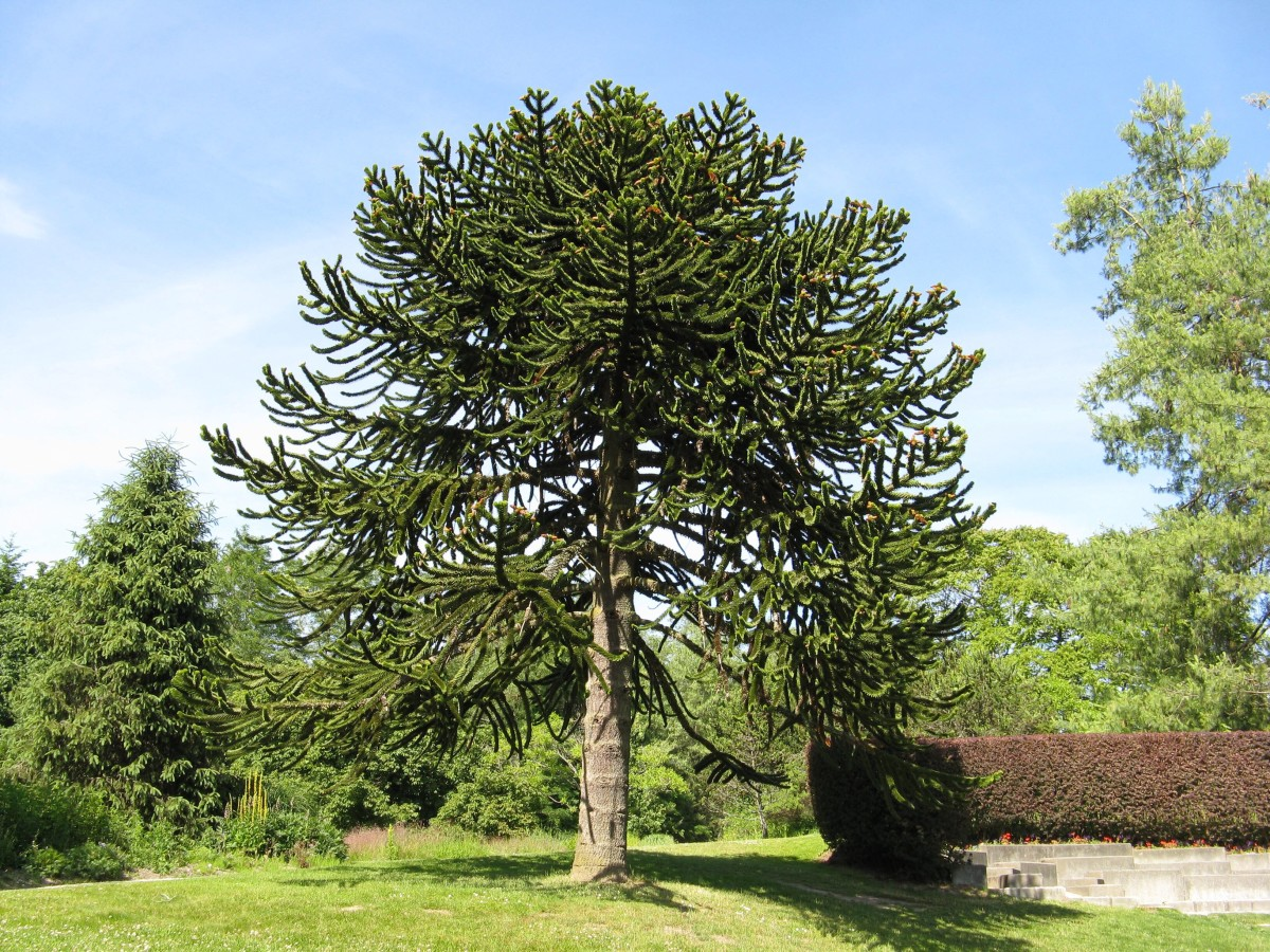 A young monkey puzzle tree in a botanical garden in British Columbia; the appearance of the tree changes as it matures