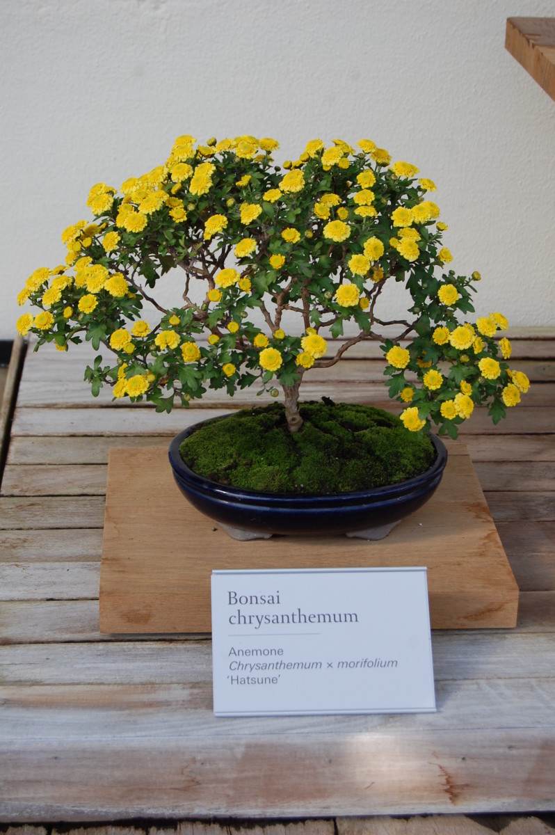 A chrysanthemum pruned as a bonsai