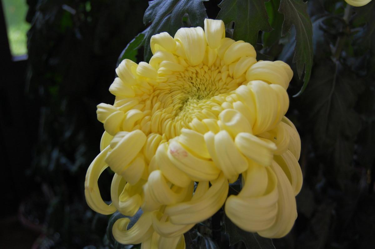 Recurved petal form