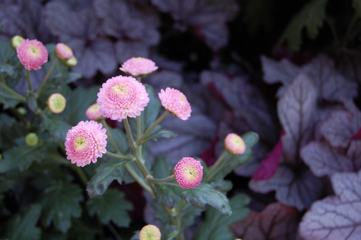 Pom pom flower form