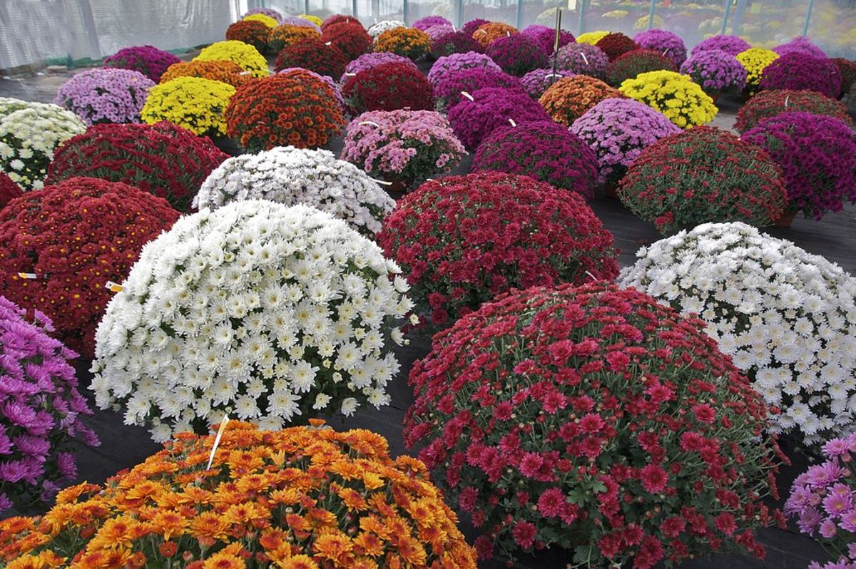 How to Grow Chrysanthemums for Fall Color
