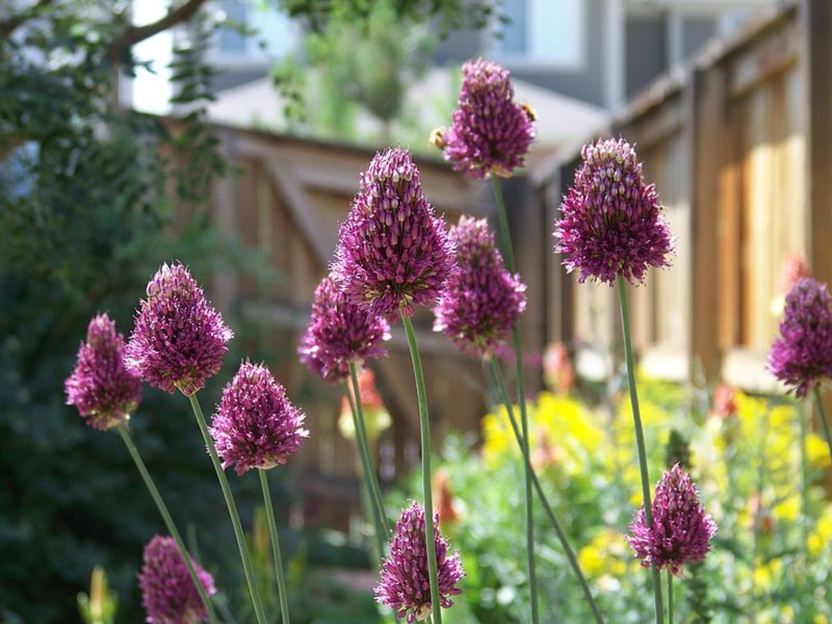 Drumstick alliums are my favorites.  Their petite size and unique shape makes them wonderful additions to my cottage garden.