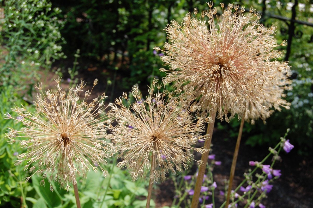Allium flowers that have dried on their stems are beautiful and extend the allium season.