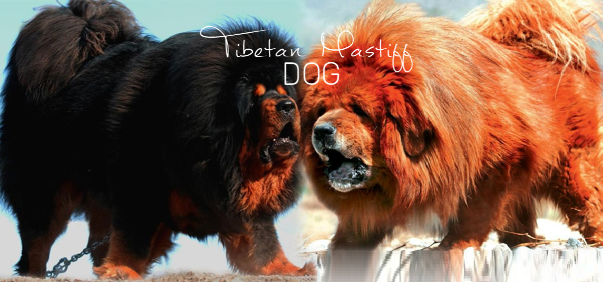 Seven Dogs Like Tibetan Mastiff