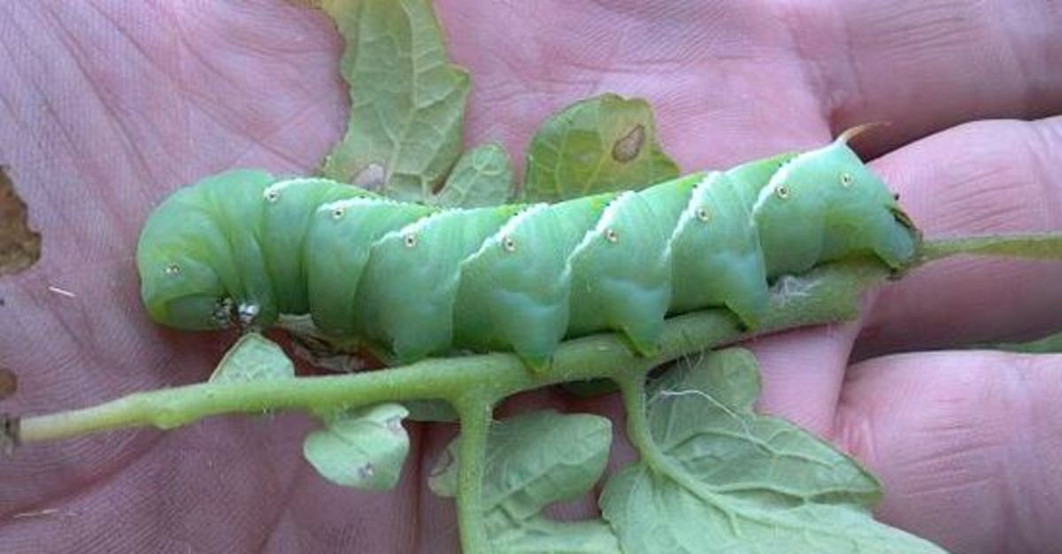 How to Rid Your Garden of Tomato Hornworms