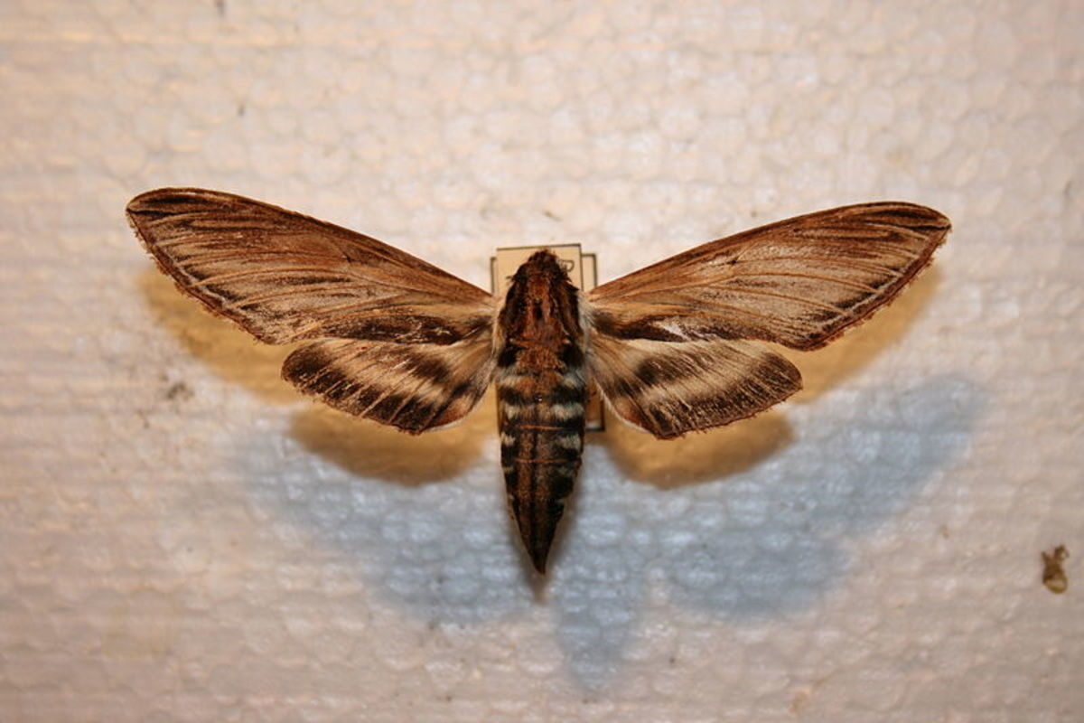 Sphinx moth, also called a hummingbird moth
