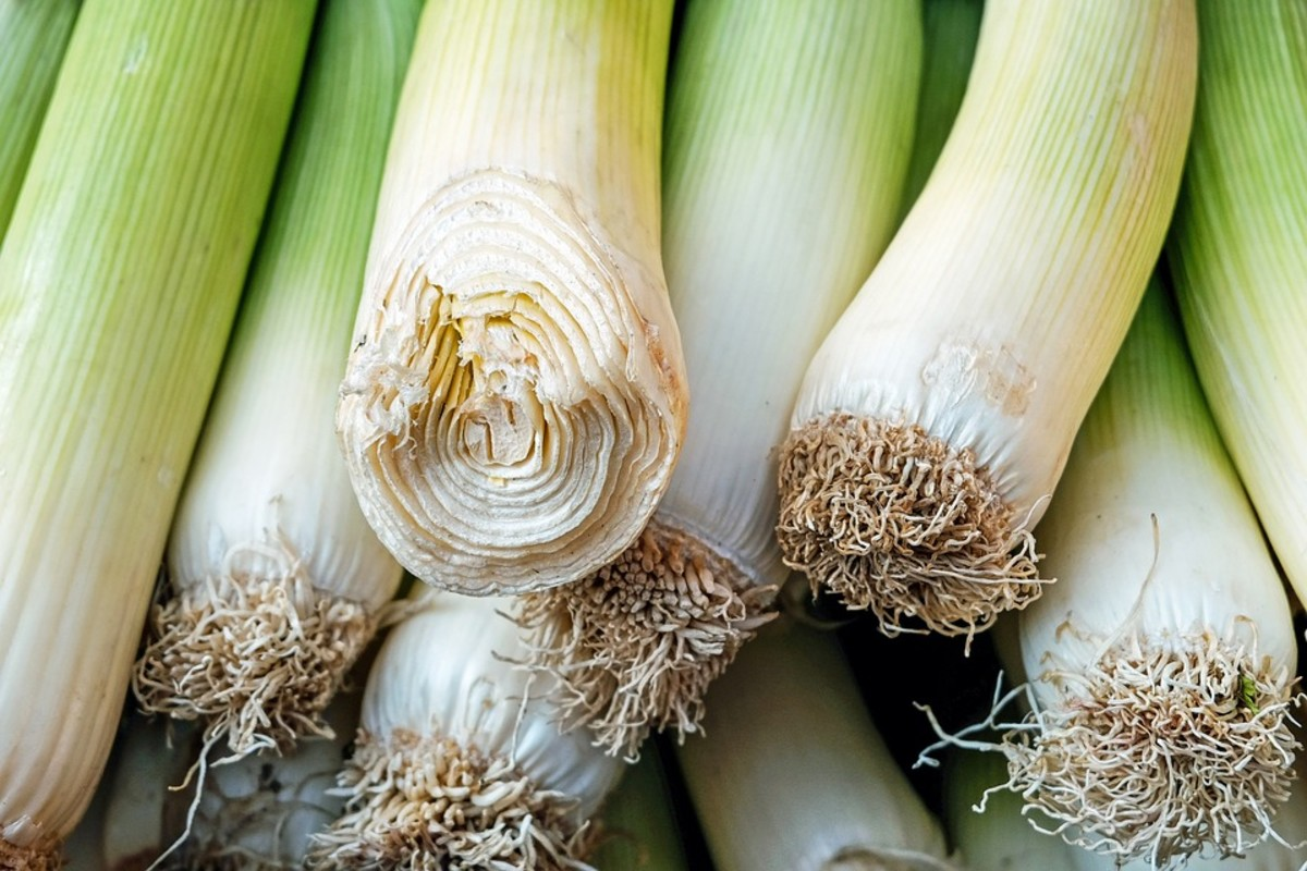 Base of a leek showing the tightly wrapped leaves