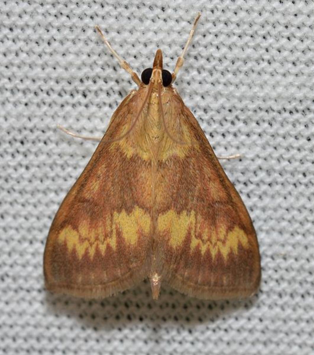 Corn borer moth.