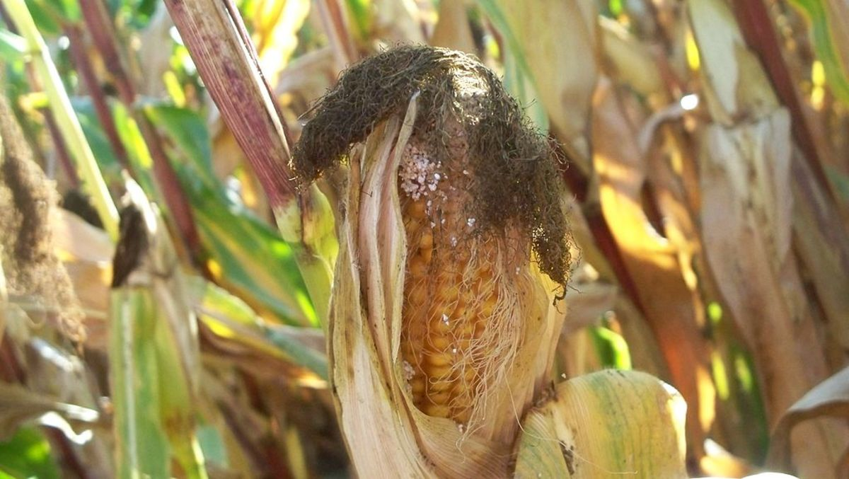 Corn borer damage to an ear of corn.