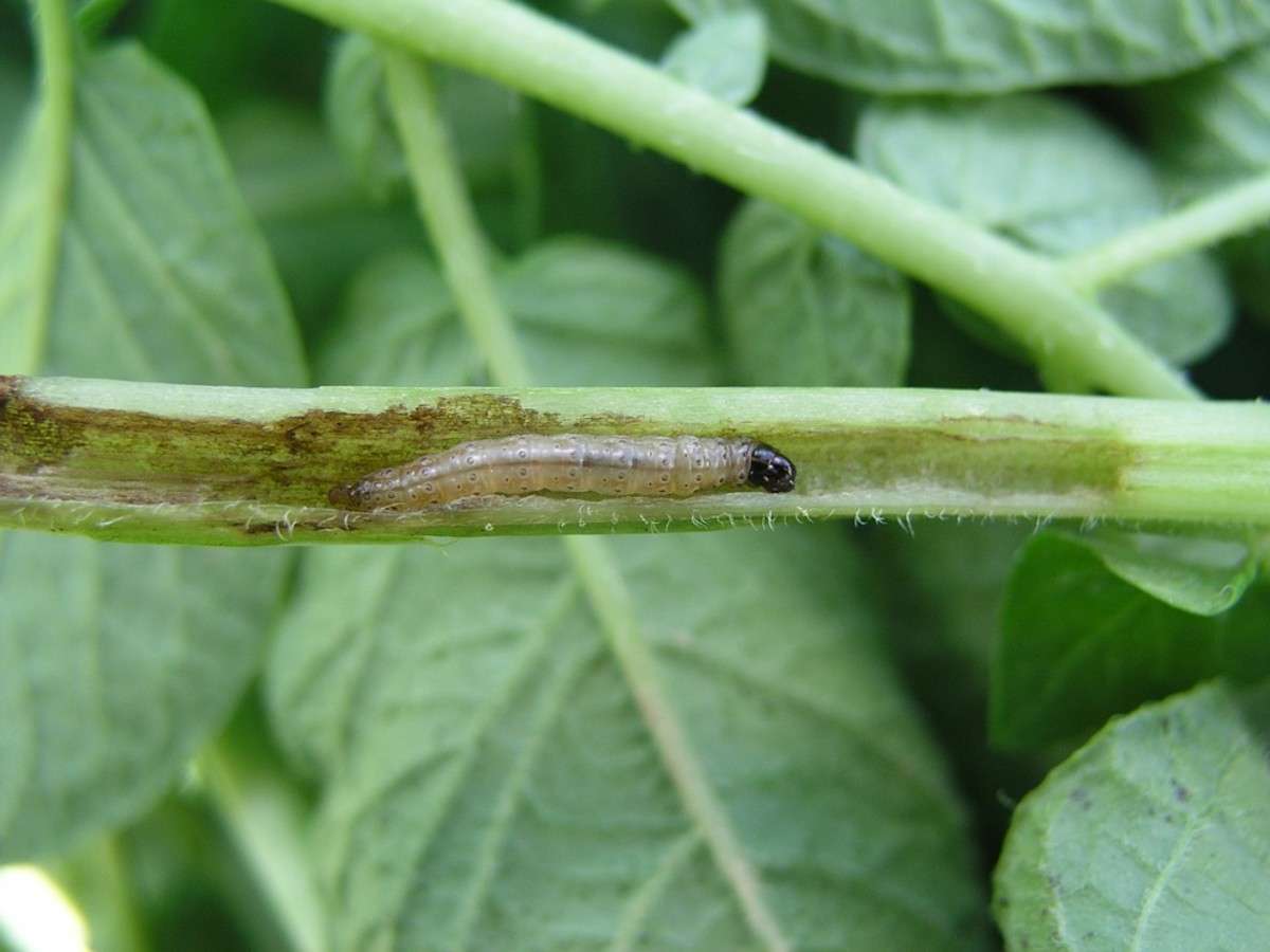 Corn borer that has burrowed into a stem.