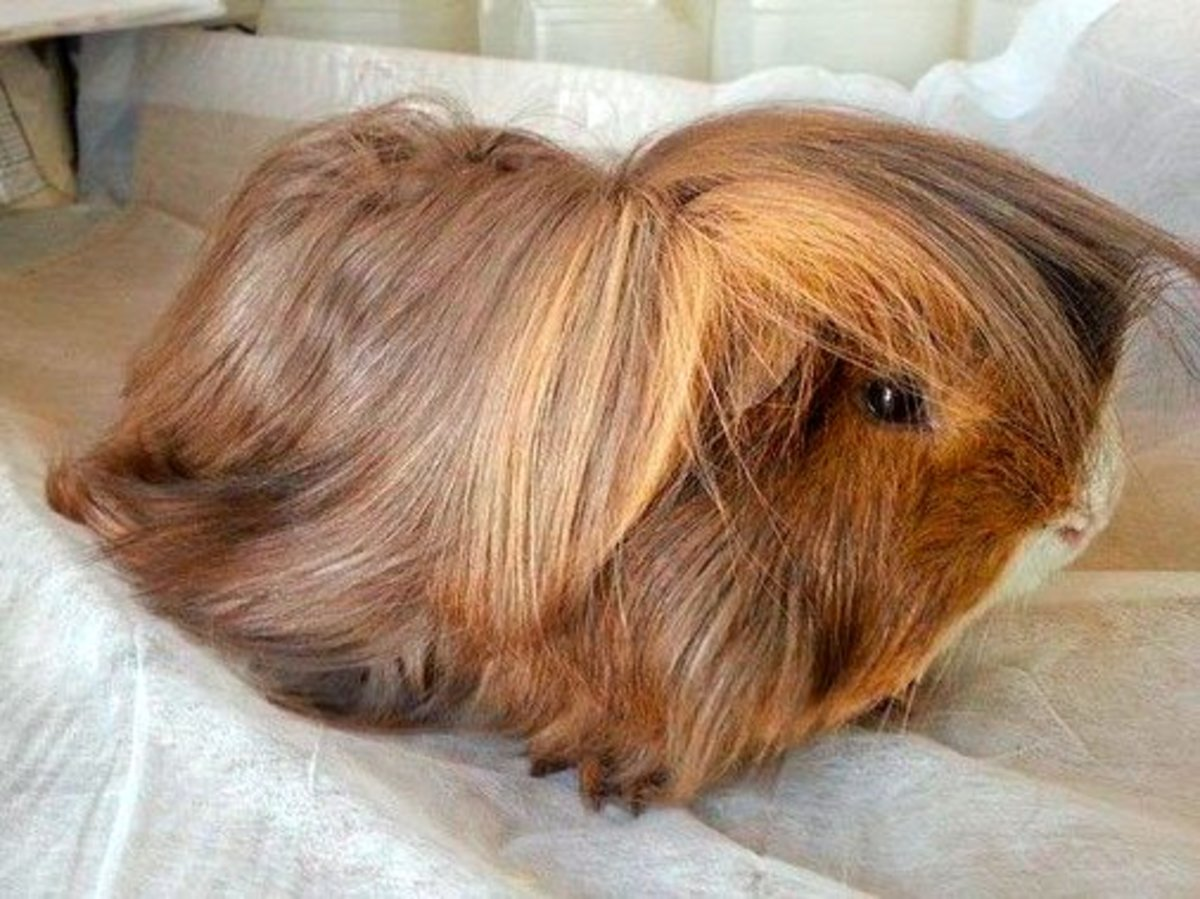 How Do You Care for a Long-Haired Peruvian Guinea Pig?