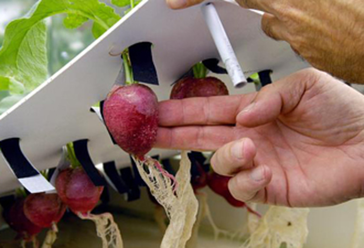 Radishes grown hydroponically, fed by nutrient-rich water flowing through bare roots.