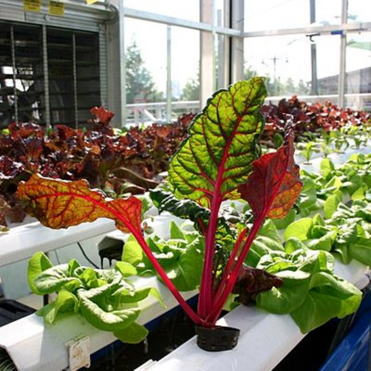 Chard and lettuce grown hydroponically. Note how big and healthy they are.