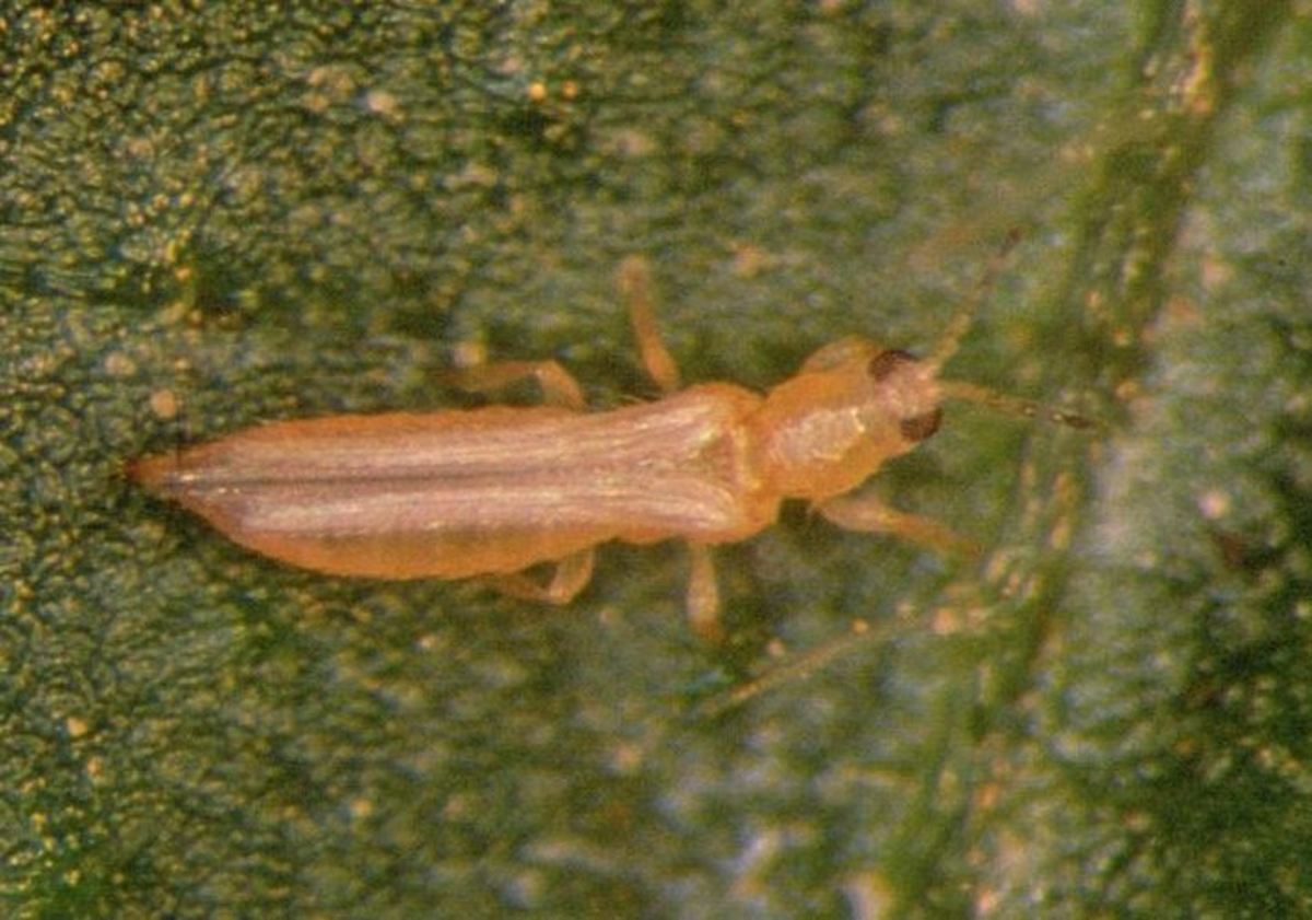 how-to-rid-your-garden-of-thrips