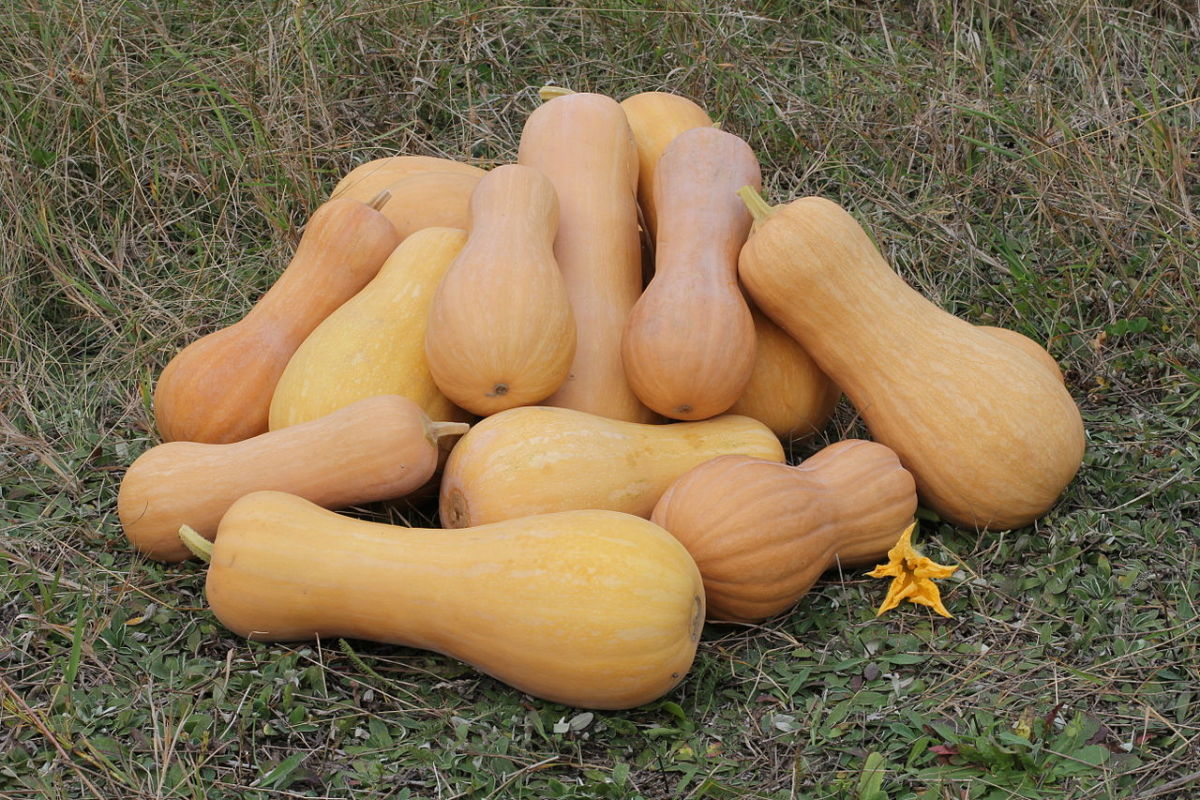 Cucurbita Moschata has a hard outer skin