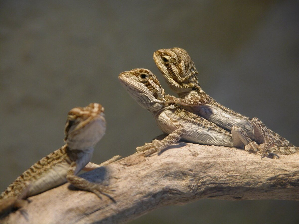 How To Breed Bearded Dragons For Profit