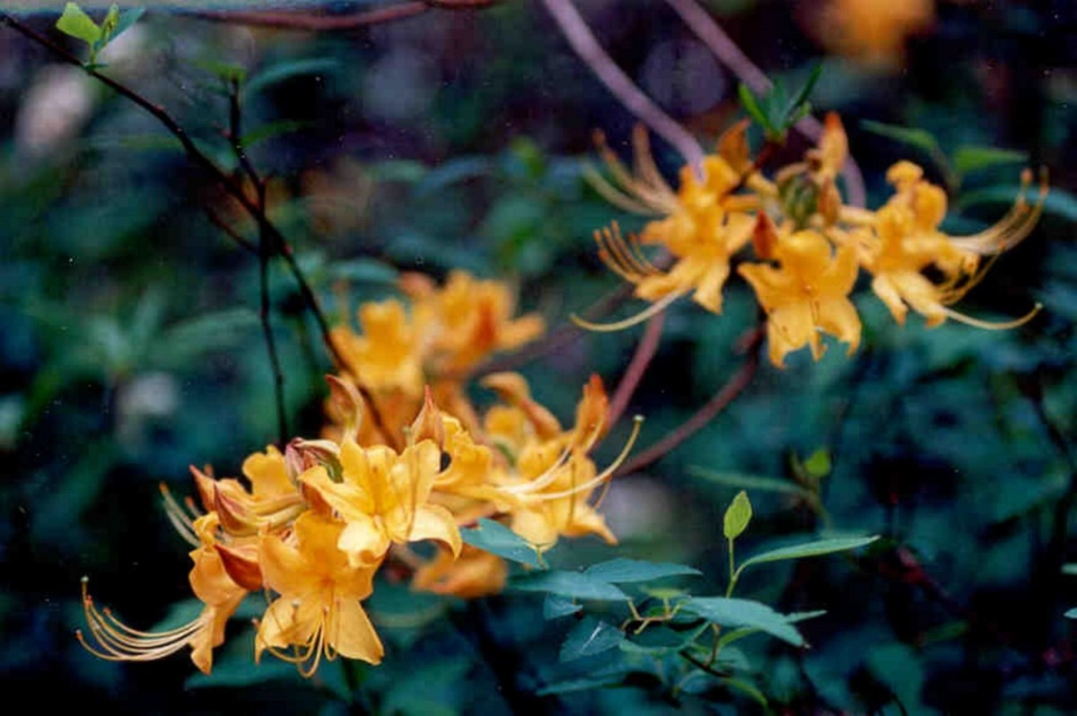 Golden yellow flame azaleas are one of my favorite native rhododendrons.