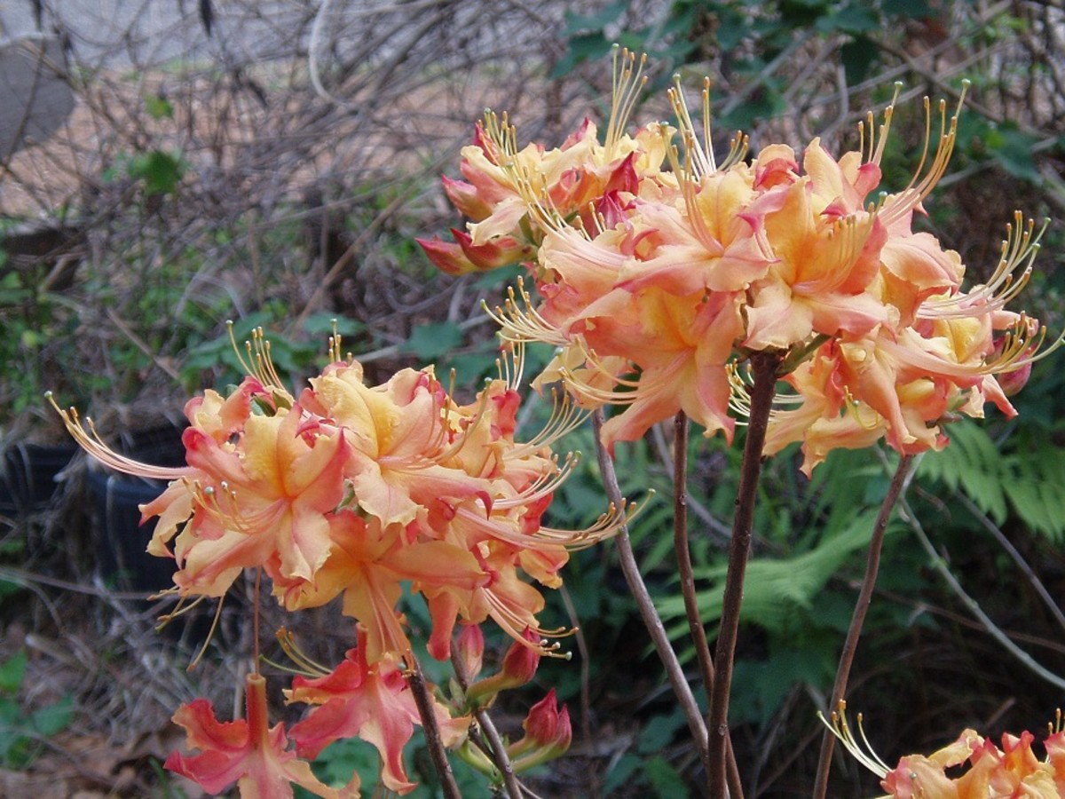 A lovely variegated cultivar of flame azalea.
