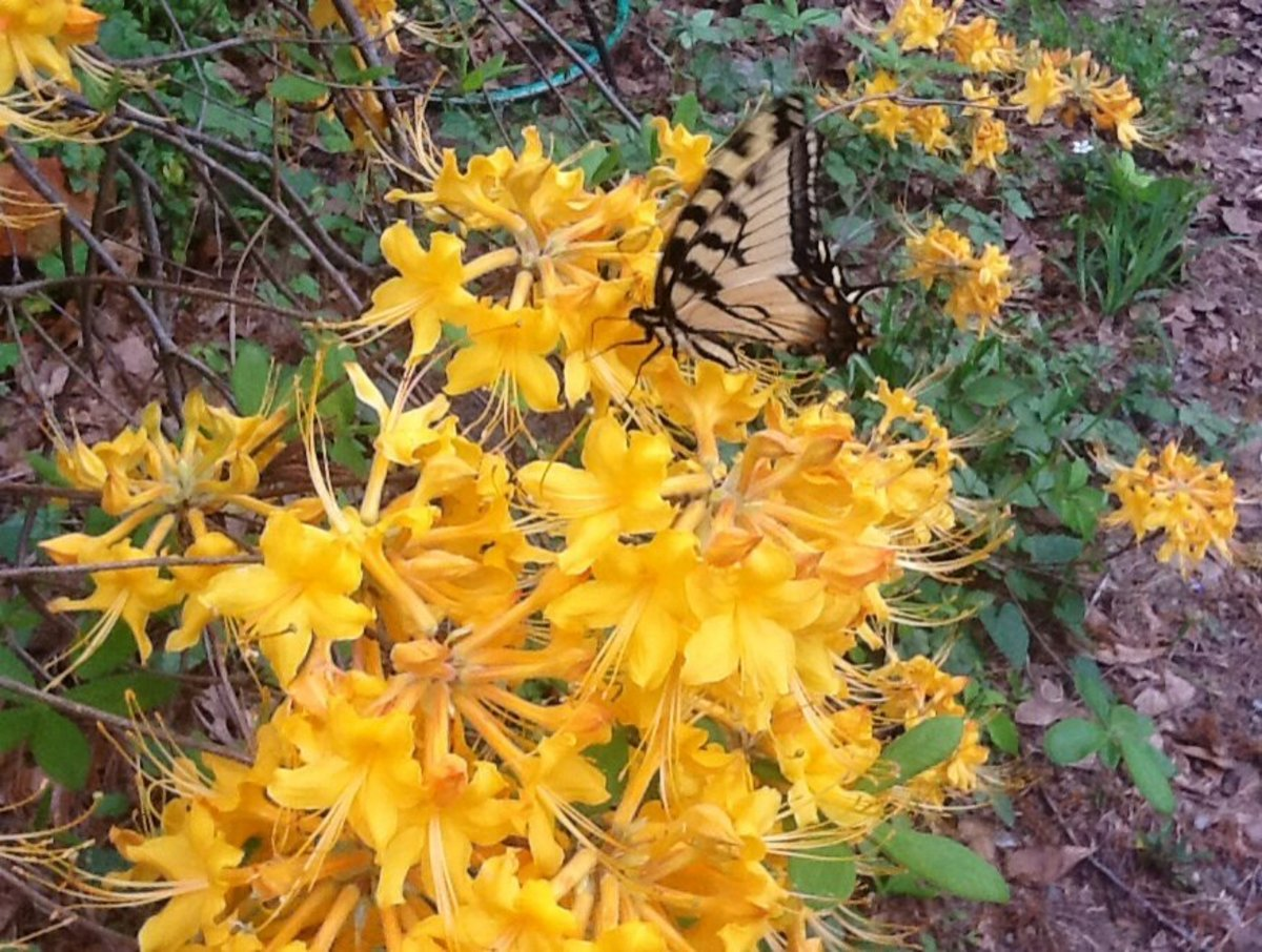 A tiger swallowtail butterfly drinks nectar from a golden flame azalea.
