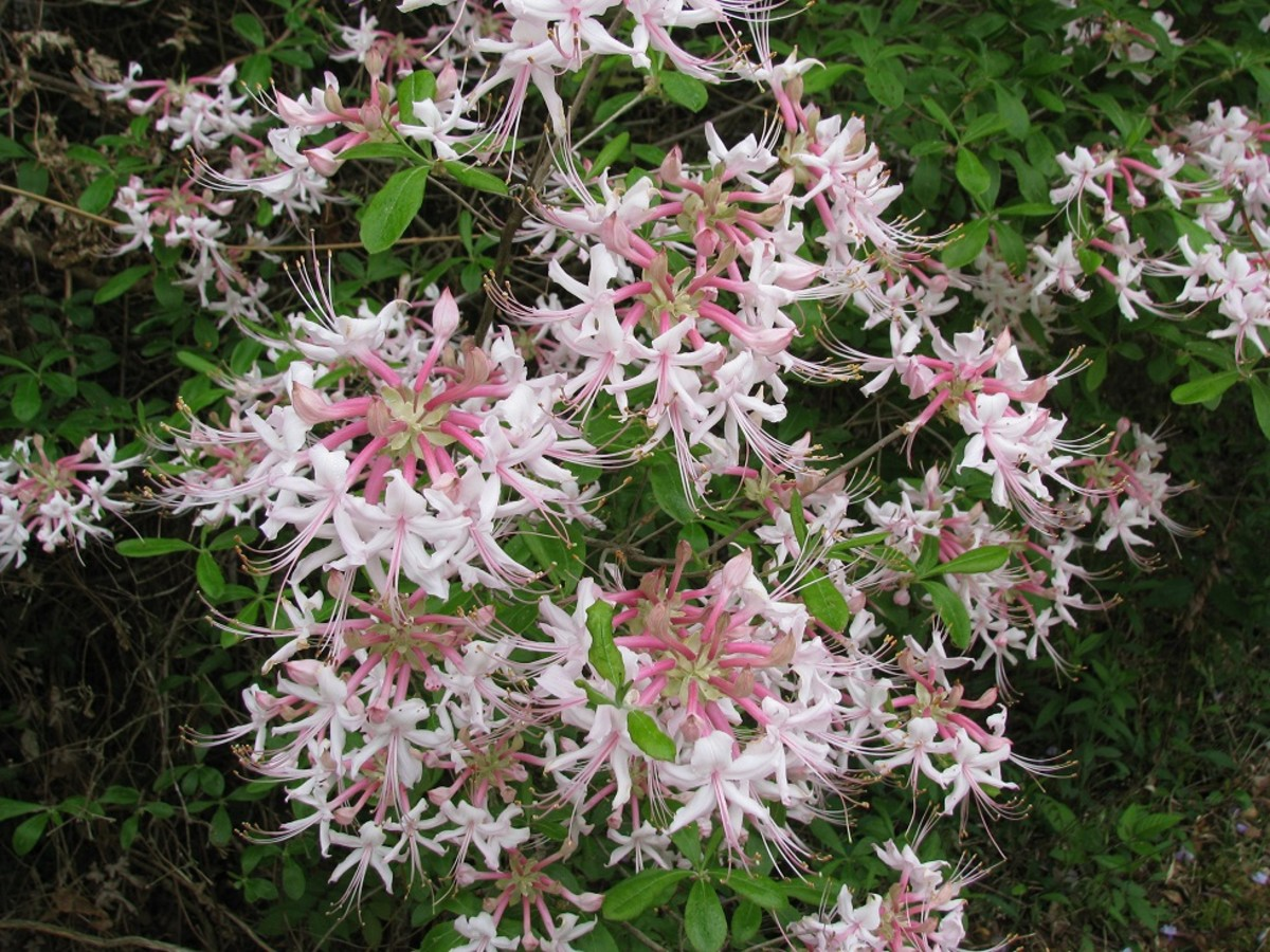 Clusters of sweet-scented flowers cover a native honeysuckle azalea bush (Rhododendron canescens).