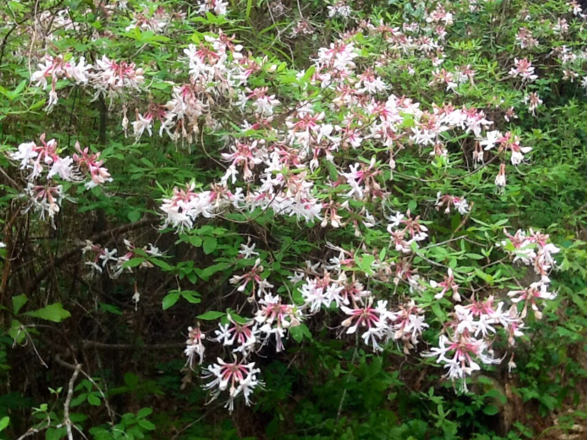 Piedmont native azalea: This pink variety is a wonderful addition to the wildlife garden.