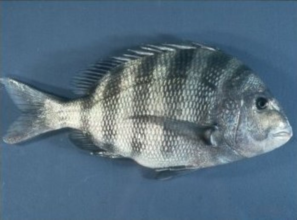 The easiest way to tell if you've caught a sheepshead or a black drum is to look at the chin.   A black drum has barbels under the mouth and a sheepshead doesn't.