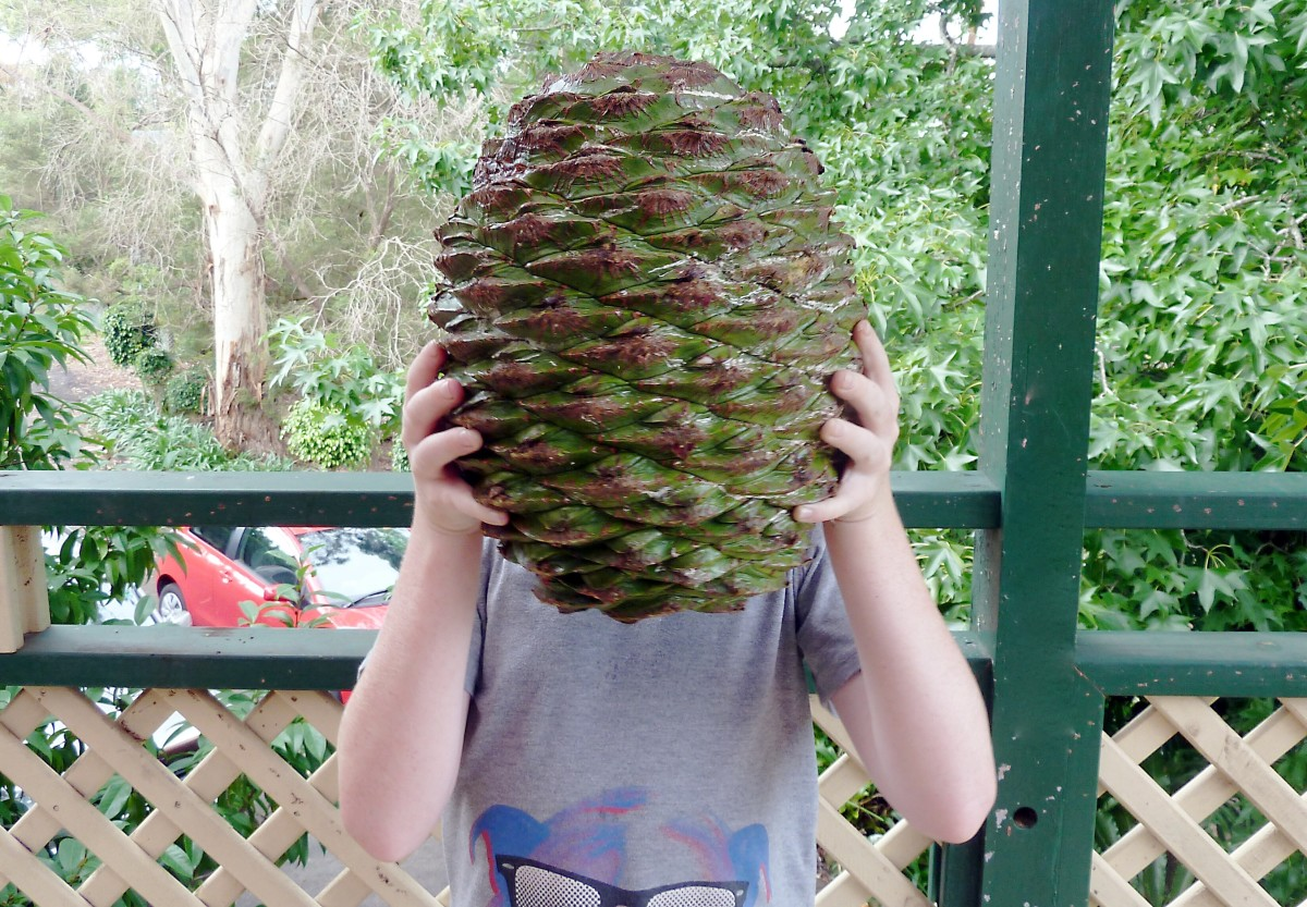 An interesting view of a bunya pine cone
