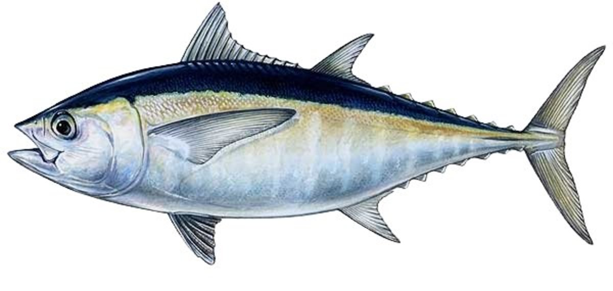 Blackfin Tuna Fishing Tips and Techniques