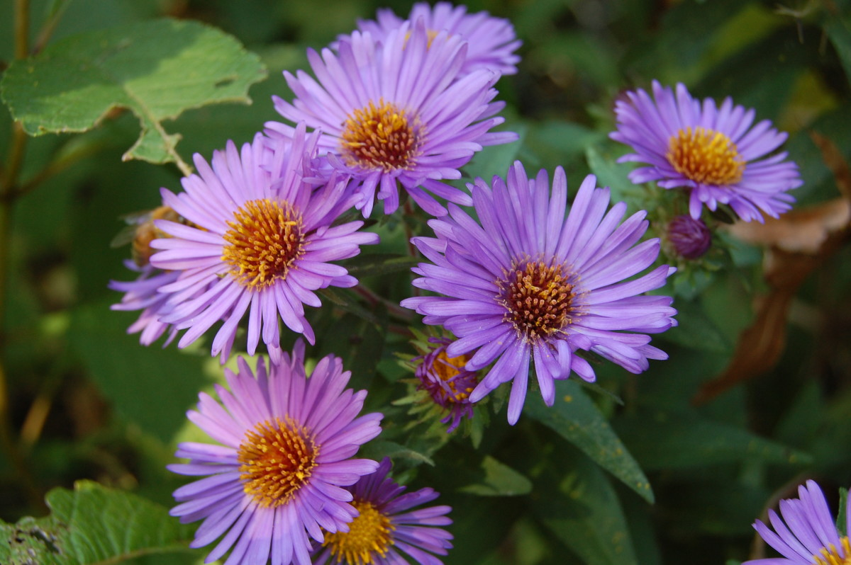 How to Grow Asters for Fall Color