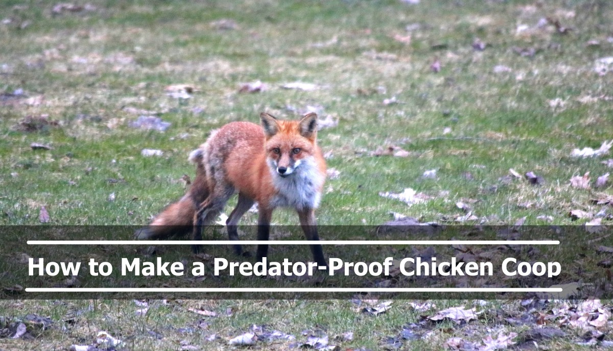 How to Make a Predator Proof Chicken Coop