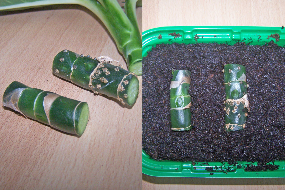 Depending on the size of your dieffenbachia plant, the cuttings you take should look something like this.