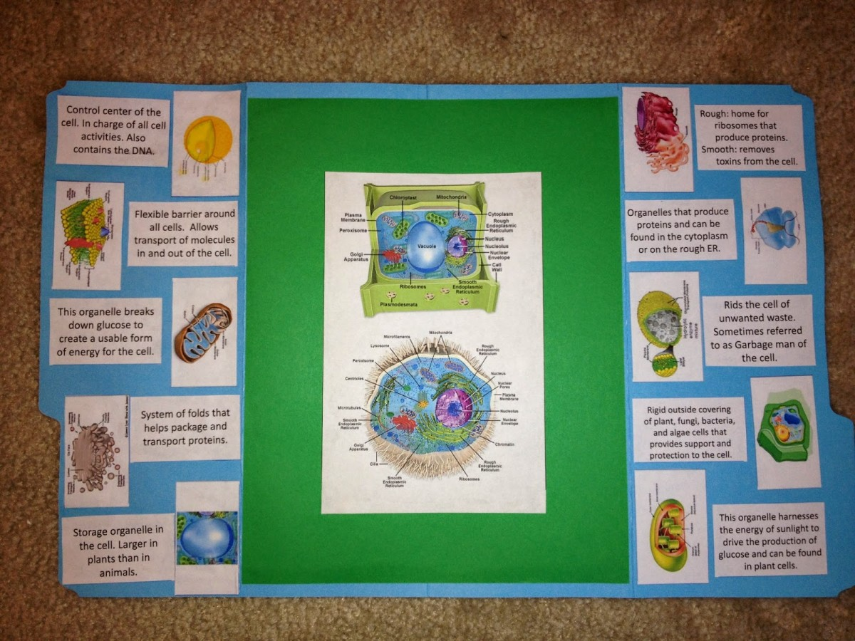 Making A Lapbook For Plant And Animal Cells Wehavekids Simple Cell Diagram Kids
