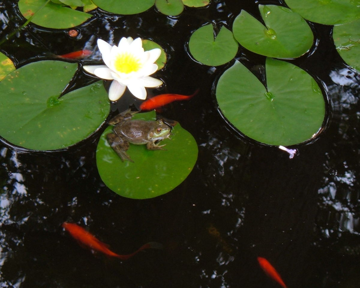 How to Grow, Divide, and Plant Water Lilies