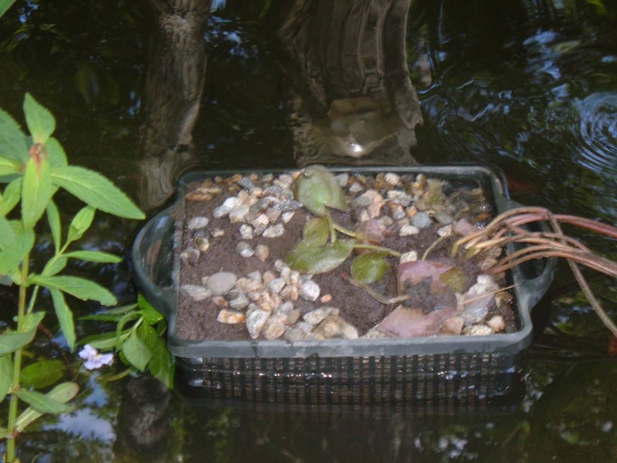 Planting water lilies.