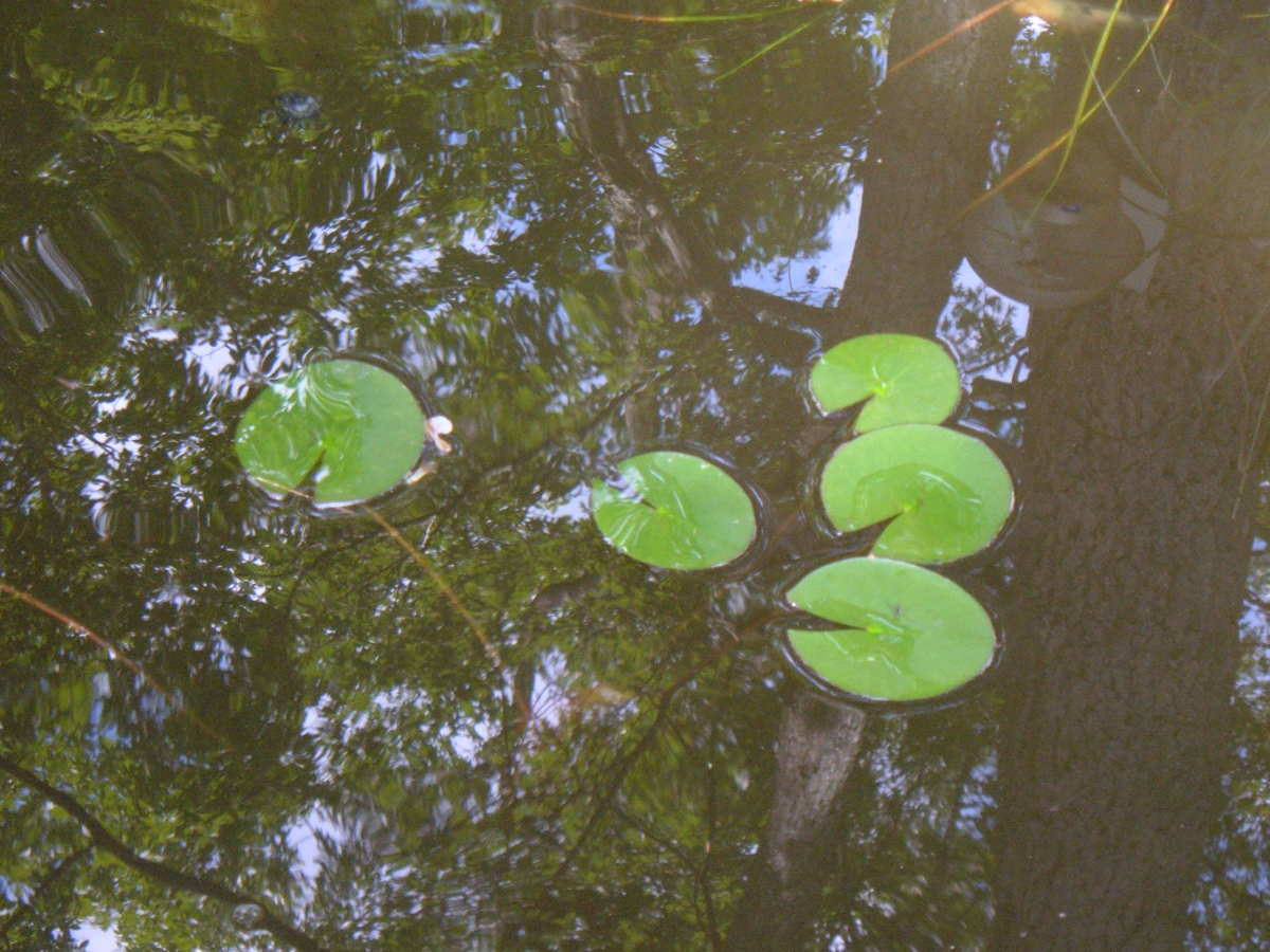 Newly divided water lily plants.