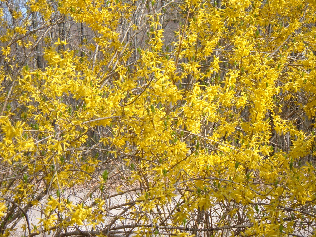 Forsythia Plants In Our Garden