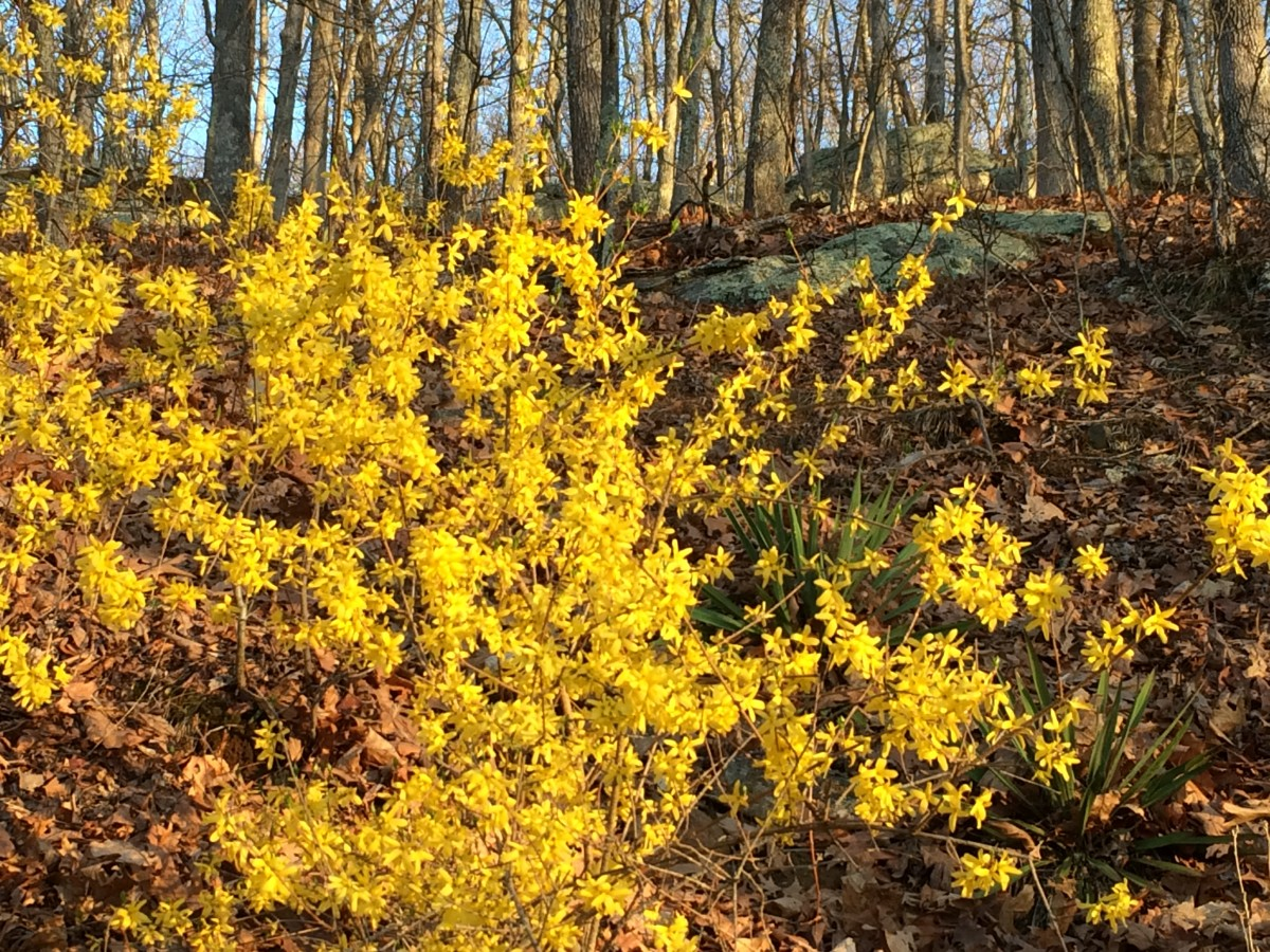 The First Blooms Of Spring How And When To Prune Forsythia Bushes