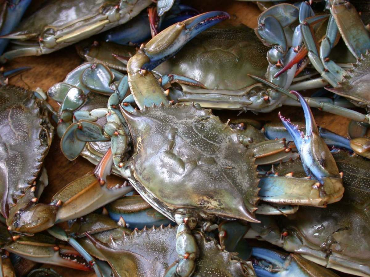 A Catch of Blue Crabs (just keep the males, and release all of the females)